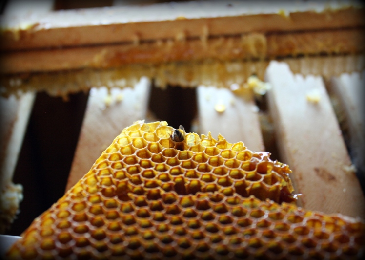 honeycomb and honeybee
