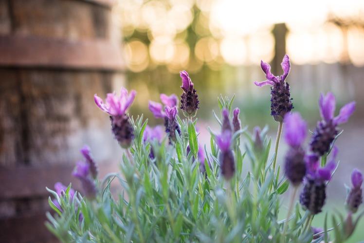 lavender-733874_1920