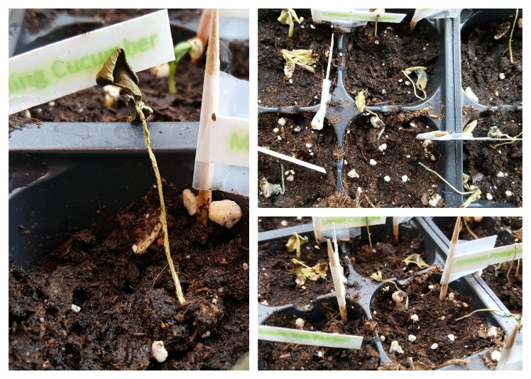 dead seedlings